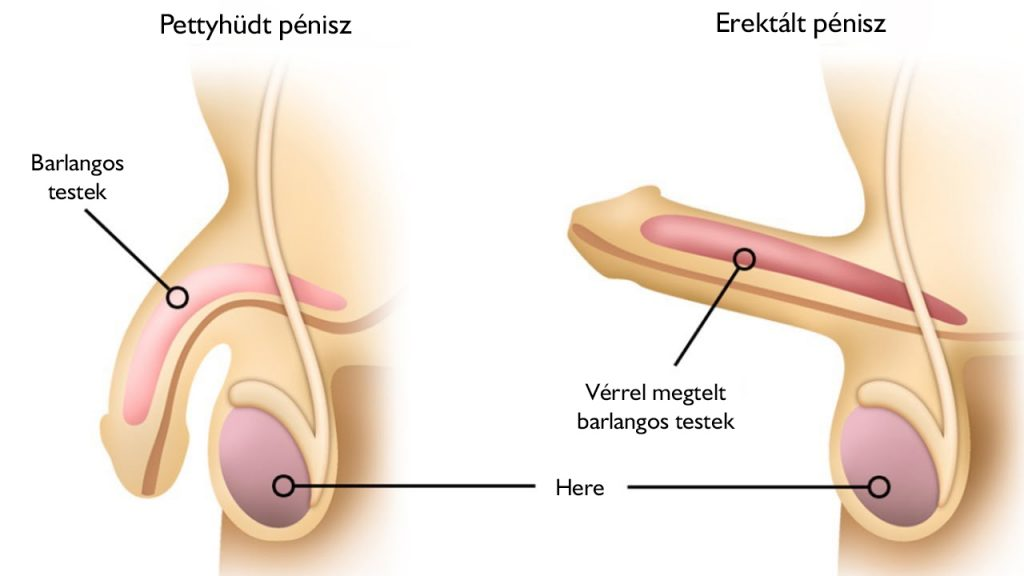hogyan kell felakasztani a péniszeket)